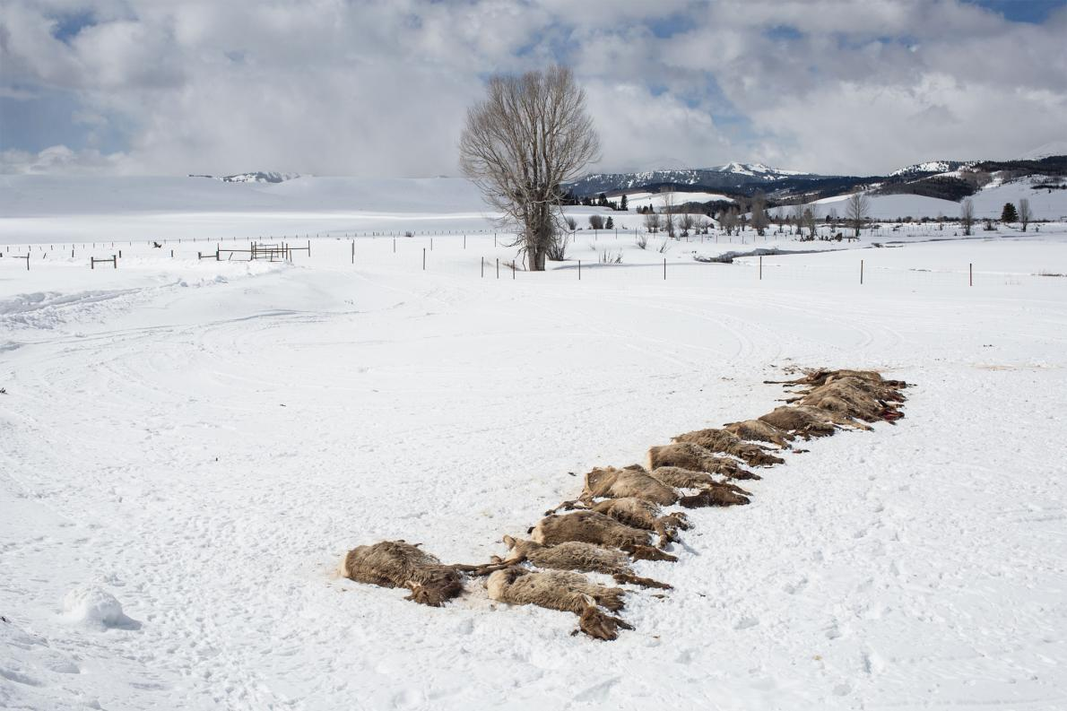 Wolf Pack Slaughters 19 Elk in Rare 'Surplus Killing'