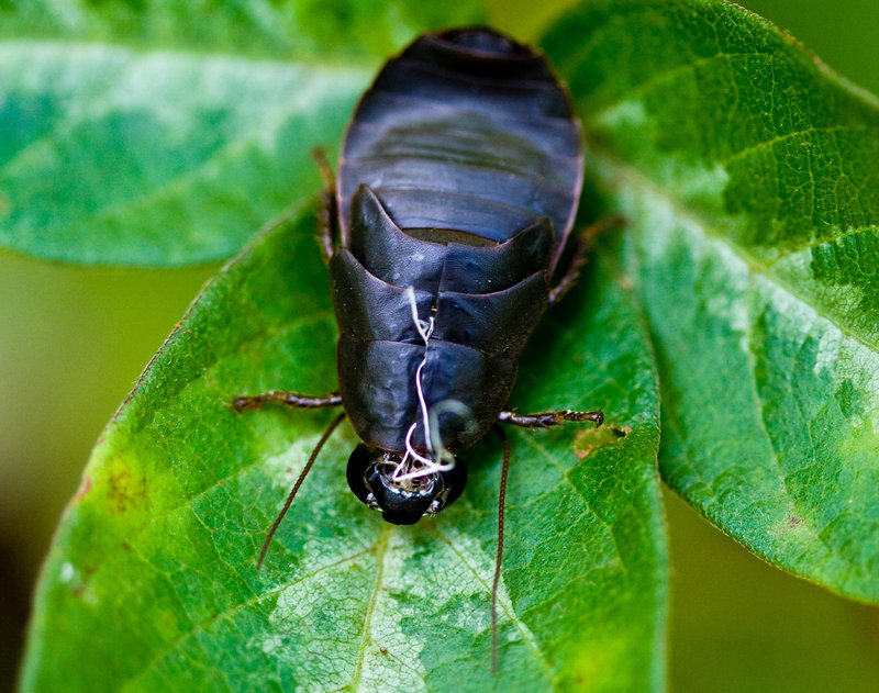 "Quinoa? Kale? How about the new ""Superfood"" Cockroach Milk"