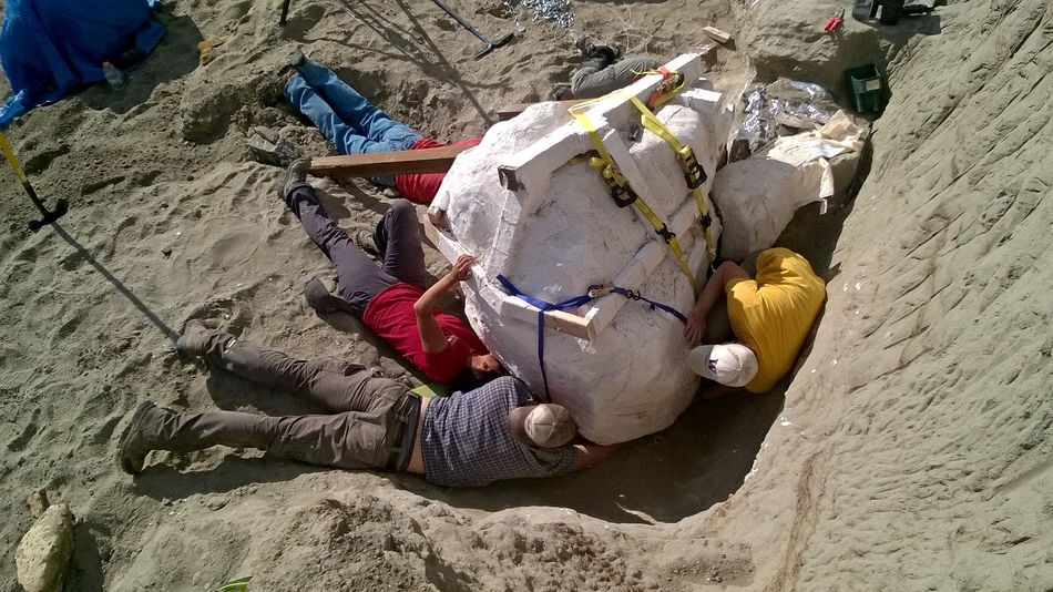 Paleontologists just found a 2,500-pound T. rex skull in Montana